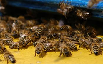 Bienen, Honigbiene, Imkerei