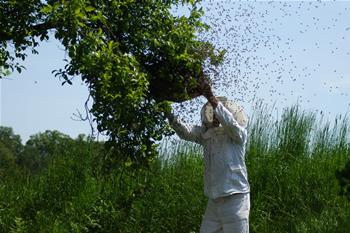 Bienen schwärmen
